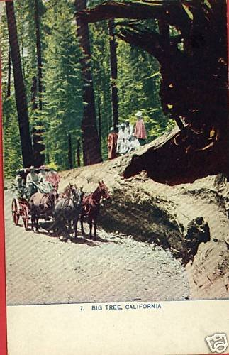 BIG TREE CALIFORNIA CA HORSES WAGON PEOPLE  POSTCARD
