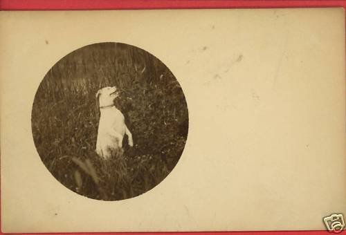 WHITE DOG ON ITS HIND LEGS IN FIELD POSTCARD