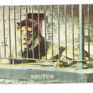 CINCINNATI OHIO OH ZOO BRUTUS THE LION POSTCARD
