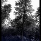 Ancients in the Woods 8x10