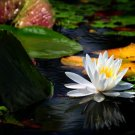 Water Lily-20x30