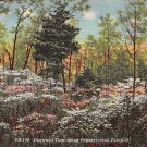 Turnpike, PA Postcard - Dogwood Time (A760) Penna, Pennsylvania