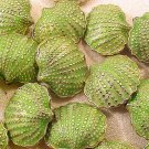 Seashell Clam Cloisonne Green 3 Beads