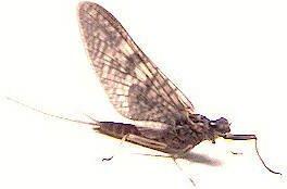 March Brown Biot Fly Fishing Flies -Twelve Hook Size 12
