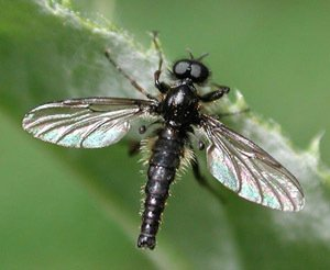 Black Gnat Dry Fly Fishing Flies Twelve Hook Size 12
