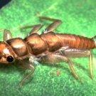 Kaufmann's Golden Stonefly Nymph - Twelve Size 2 Flies