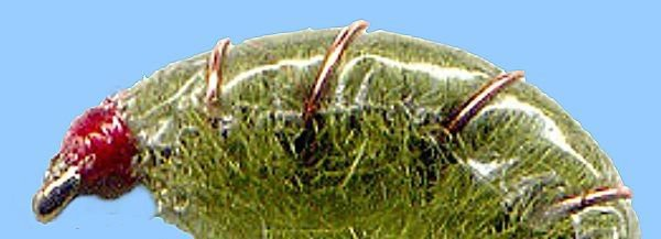 Olive Scuds - Twelve NEW Premium Fly Fishing Flies in Your Choice of Hook Size