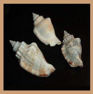 Lot of 3 Strombus Wilsoni - Canarium Wilsonorum 32mm Seashells