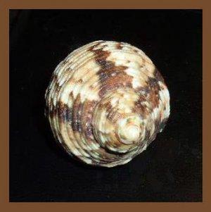 Turbo Chrysostomus 37mm Black & White Gold Mouth Turban Seashell