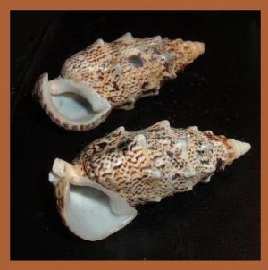 Pair of 2 Cerithium Echinatum 50mm Knobby Cerith Seashells