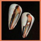 Pair of 2 Strombus Conomurex Luhuanus 51mm Strawberry Blood Mouth Conch Seashells