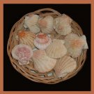 Lot of 10 Pectinidae Bractechlamys Vexillum PINK Scallop Seashells
