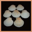 Lot of 7 Pectinidae Bractechlamys Vexillum WHITE Scallop Seashells
