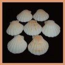 Lot of 7 Pectinidae Bractechlamys Vexillum WHITE Scallop Seashells