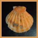 Pectinidae Bractechlamys Vexillum ORANGE 50mm Scallop Seashell