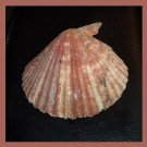 Pectinidae Cryptopecten Nux CREAM 53mm Scallop Seashell