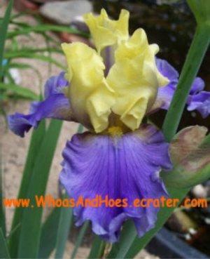 Edith Wolford Tall Bearded Iris REBLOOMER yellow & purple flower