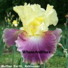 Mother Earth, Reblooming Tall Bearded Iris