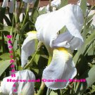 2 White bearded iris, white and yellow beard drought tolerant easy to grow