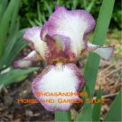 """Raspberry Acres""  Bearded Iris Drought Tolerant Easy to Grow Perennial"