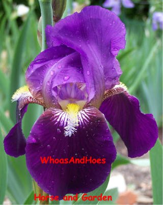 "Freshly dug ""Cardinal"" Bearded Iris, easy to grow, deer resistant, drought tolerant perennial"