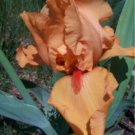 Orange Tall Bearded Iris, outstanding color, perennial, drought tolerant, easy to grow