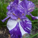 Batik Border Bearded Iris with broken color Easy to Grow Perennial Showy!