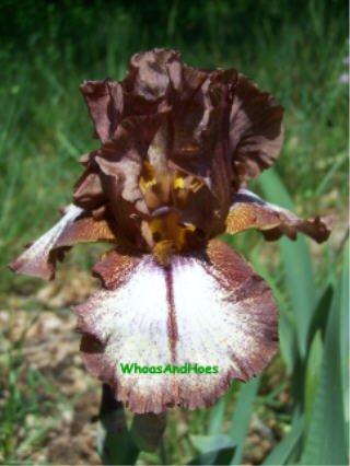 HUCKLEBERRY FUDGE Tall Bearded Iris Rootbeer color