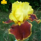 PASS THE SHADES Tall Bearded Iris WHAT COLOR!