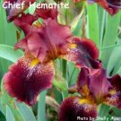 CHIEF HEMATITE  Tall Bearded Iris