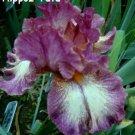HIPPO'Z TUTU Award winning Tall Bearded Iris, KASPEREK, '96