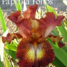PAPRIKA FONOS tall bearded iris, clay and cream with clay stitching. EYE CATCHING!