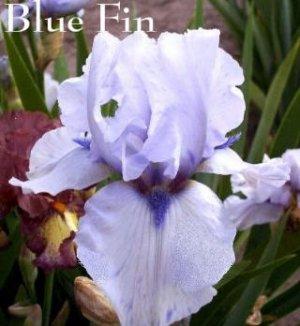 BLUE FIN Tall Bearded Iris SPACE AGE Wisteria blue