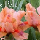 PINK PELE Intermediate Bearded Iris, glows like lava!