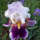 SILVER PEAK Tall Bearded Iris Perennial Drought Tolerant  Easy to Grow