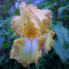SEPTEMBER REPLAY Tall Bearded Iris REBLOOMER!! Early bloom drought tolerant perennial