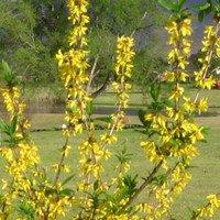 Yellow Forsythia Plants