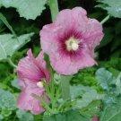 Pink Hollyhock Seeds.