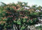 """Mimosa Tree  / """"Silk Tree"""" Seeds. 10 seeds."""