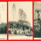 Lot of 3 Antique Postcards FORMOSA Taiwan Under Japanese Rule Plants AGAVE #EF10