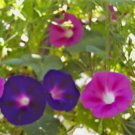 Morning Glory Seeds Vibrant Purple and Hot Pink, 70 Seeds*Grows Indoors Too!