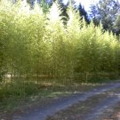 Golden Bamboo Plants Rhizome 3 feet