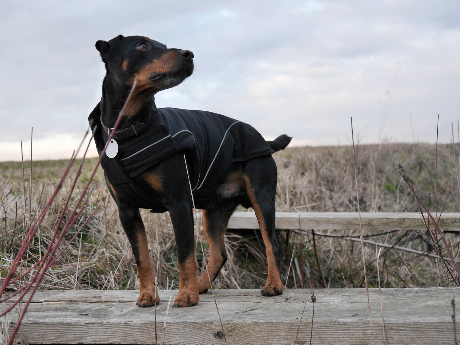 Dog Soft-Shell Winter Jacket w/ Fleece Lining Special Edition Color Black (M) 13-3/4 inch - 35cm