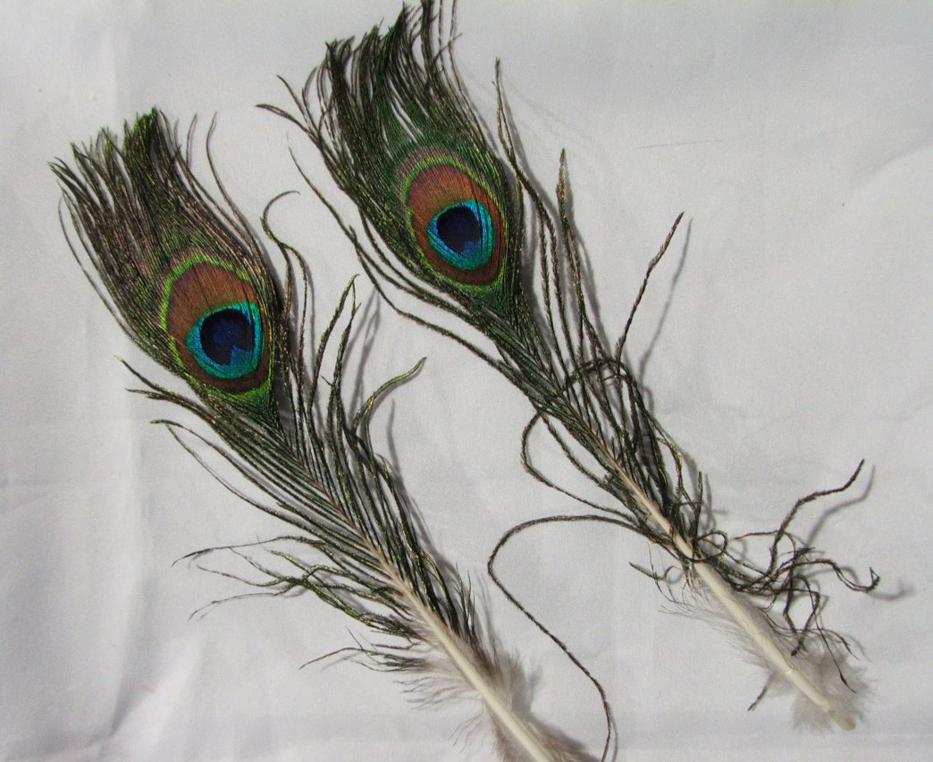 Lot of Six Small Peacock Eye Feathers
