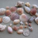 lOT 30 NATURAL SEASHELLS SEA SHELL Conch Cypraea ISRAEL