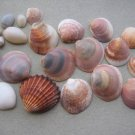 lOT 22 NATURAL SEASHELLS SEA SHELL Conch Cypraea ISRAEL