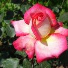 Vanilla Rose