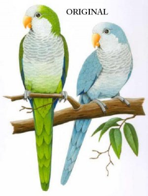 2 Quaker Parrots Cross Stitch Pattern Birds ETP