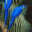 2 HYACINTH MACAWS CROSS STITCH PATTERN - PARROTS BIRDS ETP