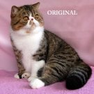 Exotic Shorthair Cross Stitch Pattern Cats ~ ETP